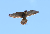 Peregrine York Minster 21 & 23 April 2016
