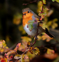 Birds in the garden 18-Nov-16